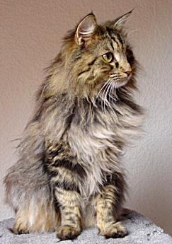 Norwegische Waldkatze Tabby Norwegian Forest Cat